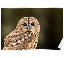 Tawny Owl portrait Poster