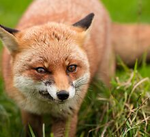 Fantastic Mr Fox by dulciemaephotos