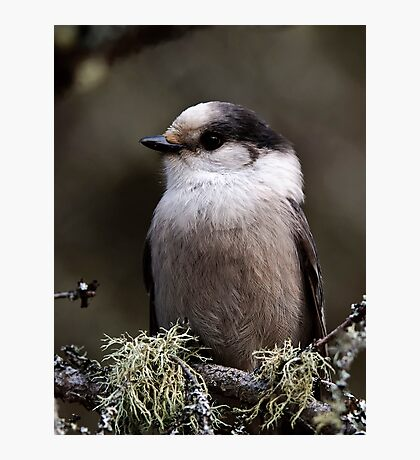 Gray Jay -  Algonquin Park, Ontario - 2 Photographic Print