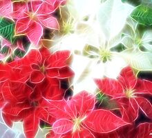 Mixed color Poinsettias 1 Angelic by Christopher Johnson