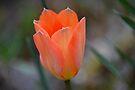 Orange Tulip by lynn carter