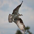Osprey Circling her Nest by Denise Worden