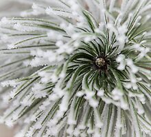 Frost on Pine by TOM KLAUSZ