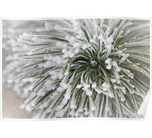 Frost on Pine Poster