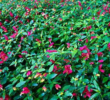Shrimp Plants en masse  by Robert Meyers-Lussier
