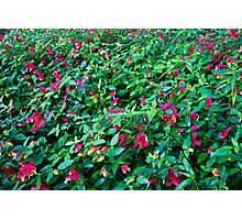 Shrimp Plants en masse  Photographic Print