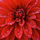 American Beauty Dahlia by Cee Neuner