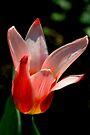 Tulip by lynn carter