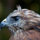 Red Shouldered Hawk by Denise Worden