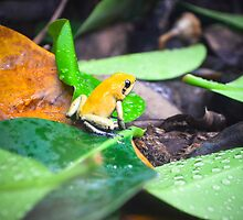 Golden Poison Dart Frog  by Jeanie93