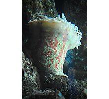 Sea Anemone Photographic Print