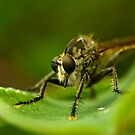 Robber Fly by davvi