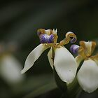 Beautiful tiny orchid by myraj