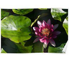 Vivid Magenta Lotus Bloom Poster