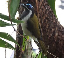 Blue Faced Honey Eater by Rosaria