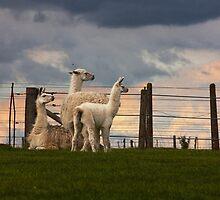 Llama, Llama by Denise Worden