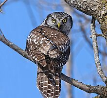 Northern Hawk Owl by Owl-Images