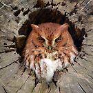 Eastern Screech Owl by Kathy Baccari