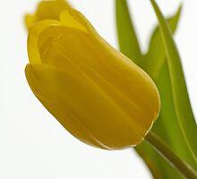 Tulip Seduction by Lynn Gedeon