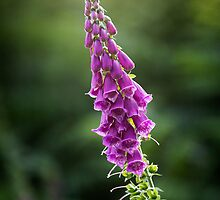 Foxglove - 01 by Paul Croxford