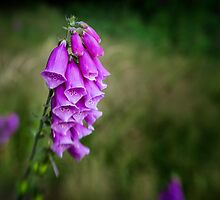 Foxglove - Lensbaby - Colour by Paul Croxford