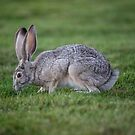 American Hare by SteveHphotos