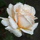 A Christmas Rose For You ♥ by heatherfriedman