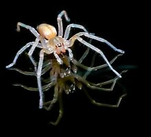 Yellow Sac Spider by viktori-art