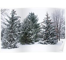 Snow Covered Pine Trees Poster