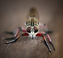 Robber Fly by Brad Grove