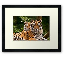 Pair of tigers guarding their domain, UK  Framed Print