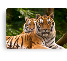 Pair of tigers guarding their domain, UK  Canvas Print
