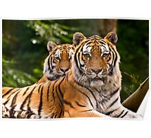 Pair of tigers guarding their domain, UK  Poster