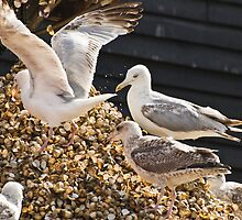 Hungry gulls scavenge cockles at Whitstable harbour, Kent, UK by Speedy78