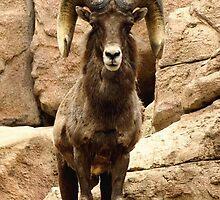 Big Horn Sheep by Amy McDaniel