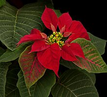 Christmas Rose by Floyd Hopper