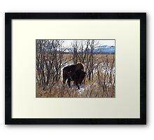 Colorado Buffalo Framed Print