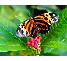 Tigerwing Butterfly Photographic Print