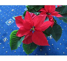 A Poinsettia for Christmas Photographic Print