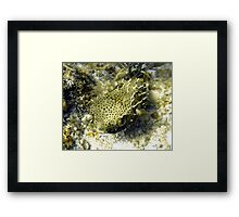 Bridled Golden Burrfish Framed Print