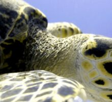 Hawksbill Caribbean Sea Turtle Close Up Sticker