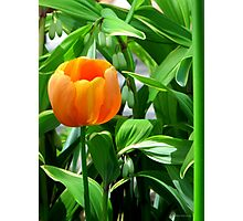 Orange Tulip on Green Photographic Print