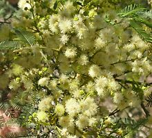 Deane's wattle by Dreamanon