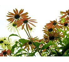 Cone Flower Field Photographic Print