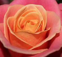 colourful rose - 2 by Perggals© - Stacey Turner