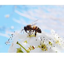 BABY BLUE AND SPRING BEE Photographic Print