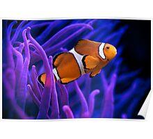 Clown Fish Swimming Poster