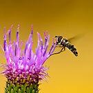 Hoverfly  by davvi