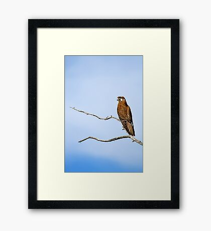 Orroral Falcon Framed Print