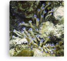 Purple Tipped Giant White Sea Anemone Canvas Print